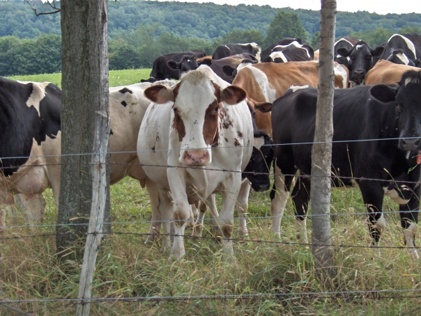 """The """"Girls"""" at White Cow Dairy"""