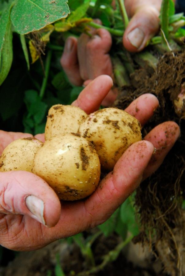 Tom Tower's Potatoes
